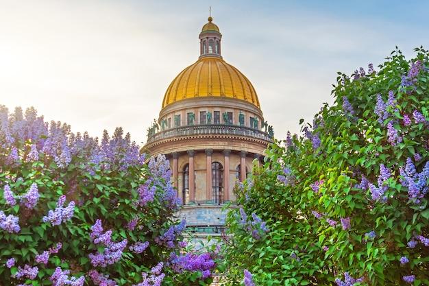 A cúpula da catedral de santo isaac em meio a arbustos de lilases em flor