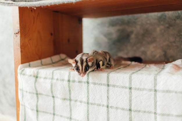A curiosidade pequena bonito sugar glider esconde nas prateleiras.