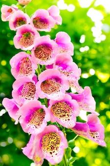 A dedaleira digitalis purpurea cresce no verão Foto Premium