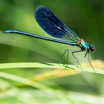 A demoiselle calopteryx splendens é uma espécie de libélula pertencente à família calopterygidae, uma libélula azul descansando na grama na floresta