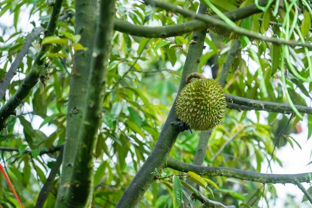 A durian está pronta para colher os produtos na árvore, esperando que os comerciantes comprem e exportem para a china.