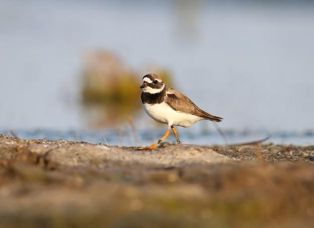 A elegante tarambola (charadrius hiaticula) em plumagem de inverno é filmada na margem do estuário na luz suave da manhã
