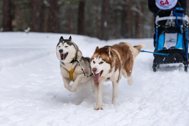 A equipe de cães de trenó ronca no chicote de fios corre e puxa o motorista do cão. corridas de cães de trenó. competição de campeonato de esporte de inverno.