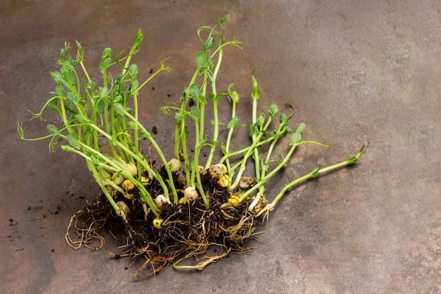 A ervilha brota com raízes e solo. fundo de metal enferrujado. vista do topo. copie o espaço