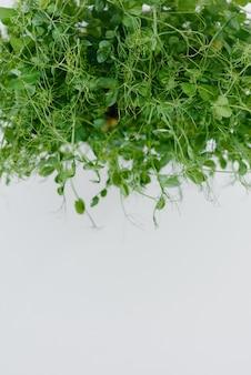 A ervilha micro-verde brota em uma mesa branca em uma panela com o solo. alimentação saudável e estilo de vida.
