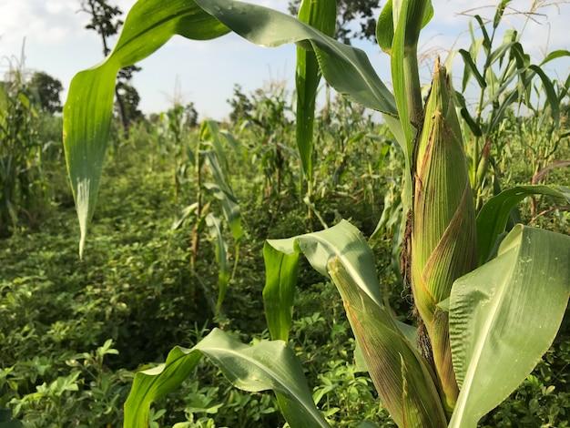 A espiga de milho crescendo no jardim verde