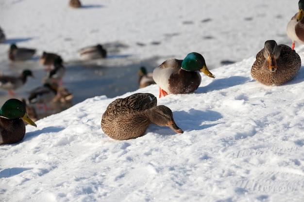 A estação fria com geadas e neve, os patos sentam-se na neve, um grande bando de patos que ficaram para o inverno na europa