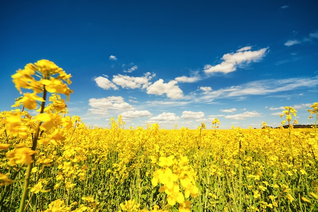 A fabulosa violação amarela linda floresce em um fundo de céu azul. estupro. biocombustíveis. biodiesel. eco. ð agricultura. fábrica de óleo. campo