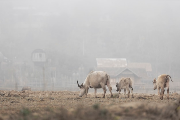 A família buffalo está caminhando para encontrar grama para comer em uma vila rural.