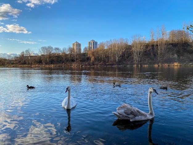 A família dos cisnes nada no rio