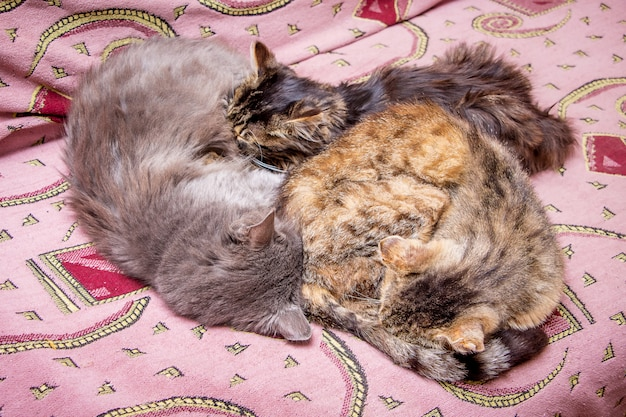 A família dos gatos dorme no sofá