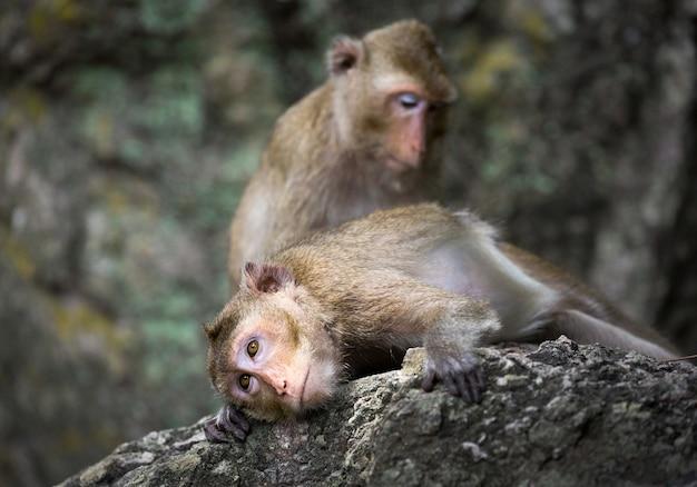 A família dos macacos na natureza.