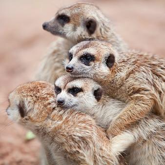A família meerkat está tomando sol.