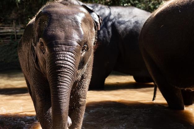 A família tailandesa do elefante está apreciando o rio.