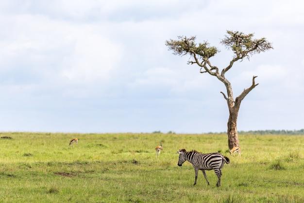 A família zebra pasta na savana perto de outros animais