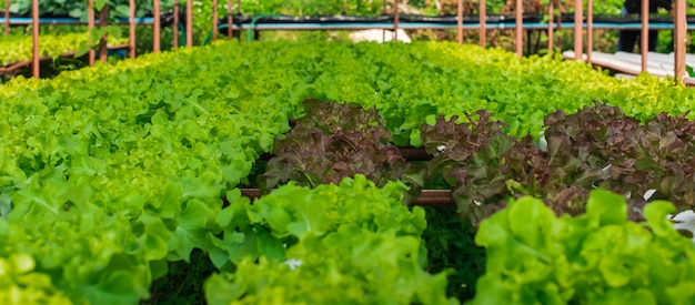 A fazenda de cultivo de vegetais hidropônicos orgânicos em rural.