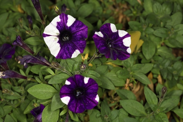 A flor branca e roxa da petúnia no jardim