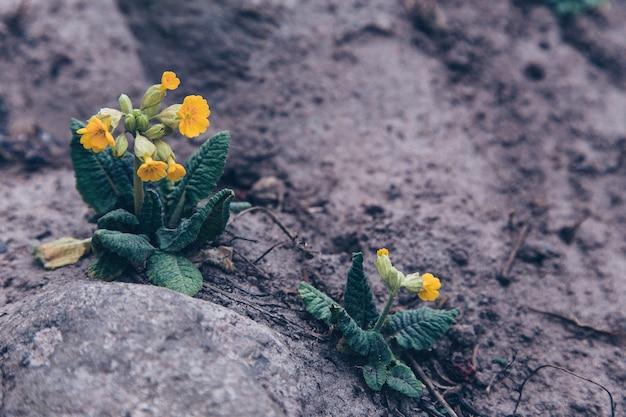 A flor cresce de uma pedra