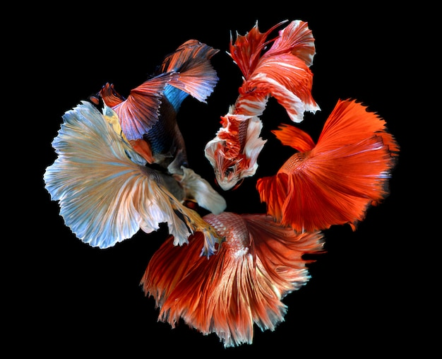 A flor das barbatanas caudas de betta misturada