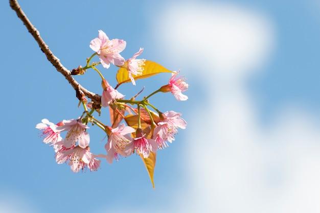 A flor de cerejeira floresce, flores de sakura no fundo do céu.