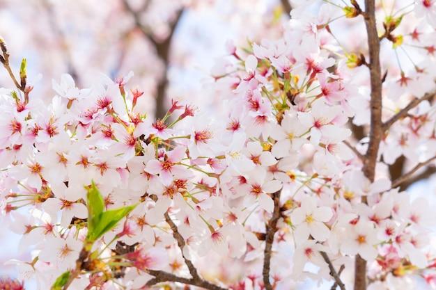 A flor de cerejeira ou sakura na primavera.