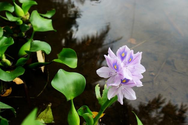 A flor de eichhornia crassipes