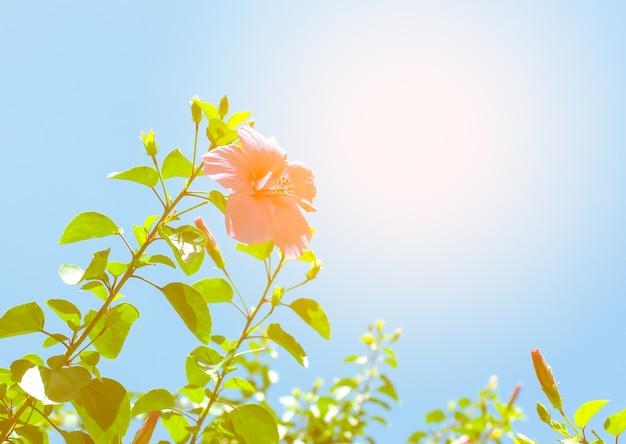 A flor de hibisco e a árvore com o sol no fundo do céu