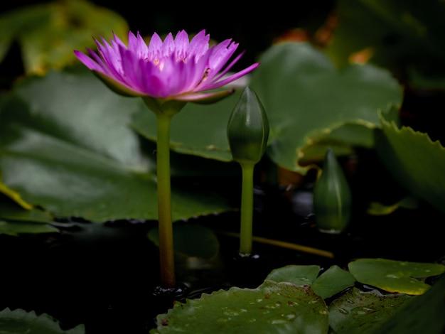 A flor de lótus colorido