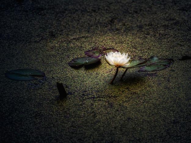 A flor de lótus floresceu à noite no pântano