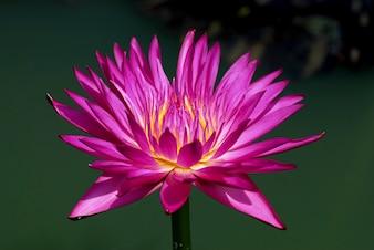 A flor de Lotus magenta roxa ou o nouchali do Nymphaea ou o stellata do Nymphaea são um lírio de água.