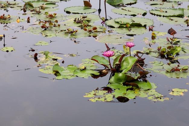 A flor de lótus vermelha no rio na tailândia