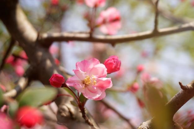 A flor do close-up está florescendo na luz solar brilhante na árvore. busan, coreia do sul.