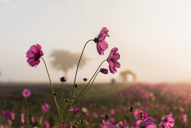 A flor do cosmos da pastagem