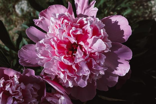 A flor do peão que cresce em um jardim do verão.
