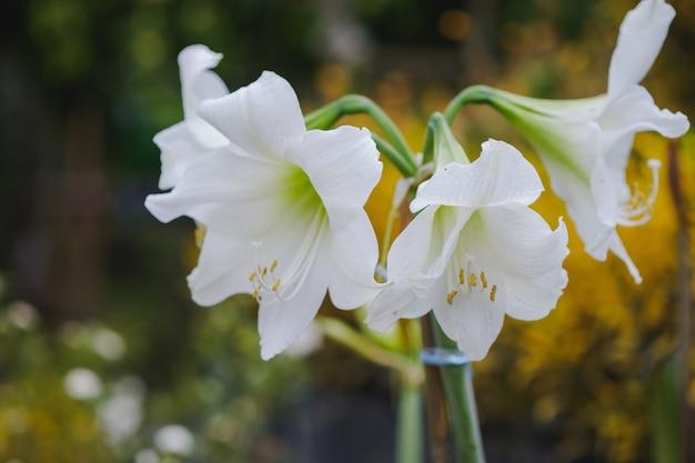 A flor hippeastrum ou amaryllis é uma bela flor branca com fundo desfocado