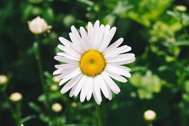 A flor romântica bonito da margarida com pólen amarelo vívido e as pétalas brancas longas fecham-se acima.