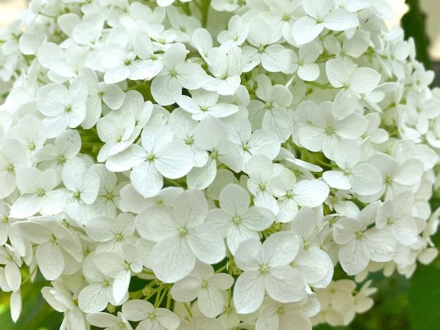 A floração de hydrangea arborescens