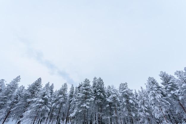 A floresta cobriu com o céu das nevadas fortes e do mau tempo na estação do inverno em lapland, finlandia.