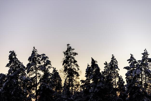 A floresta da silhueta cobriu com o céu das nevadas fortes e do por do sol na estação do inverno na vila kuukiuru do feriado, finlandia.