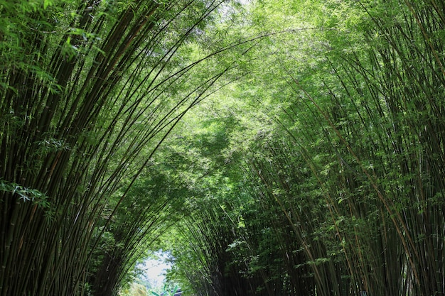A floresta de bambu na natureza na tailândia