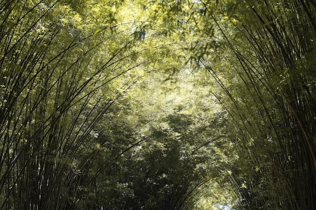A floresta de bambu na temporada de outono no parque natural
