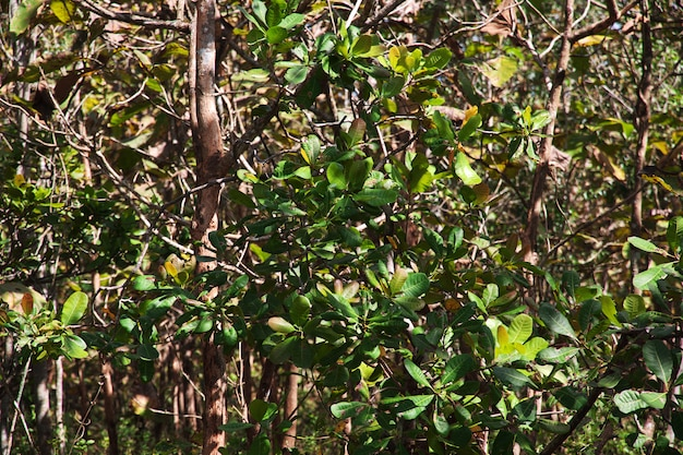A floresta de borracha perto da cidade de yogyakarta, java, indonésia