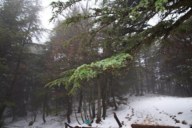 A floresta de cedro nas montanhas do líbano