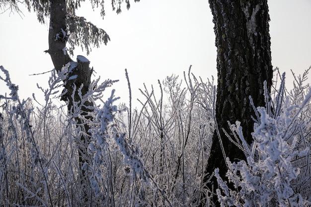 A floresta no inverno fica coberta de neve após as últimas nevascas e uma bela paisagem