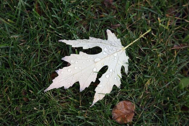 A folha com gotas de água após a chuva na grama verde