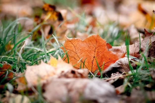 A folha de bordo brilhante está na grama em um dia claro de outono