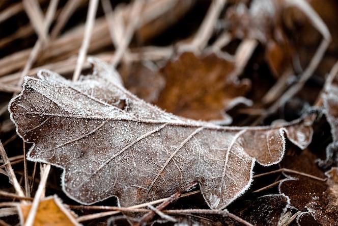 A folha de carvalho caída repousa na grama seca coberta de geada