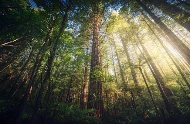 A força das sequoias da nova zelândia