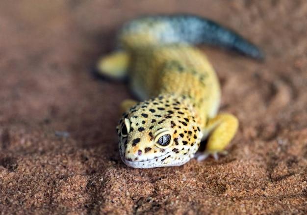 A forma e o rosto de uma lagartixa-leopardo em uma atmosfera natural.