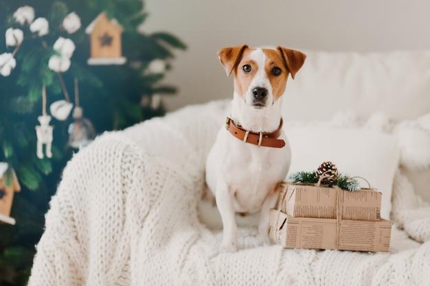 A foto do cão de jack russell senta-se no sofá na sala de estar perto de duas caixas de presente, aguarda férias de inverno, decorada árvore de natal para trás.